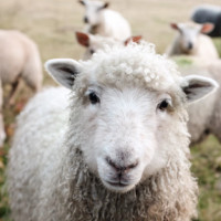 FarmWeek_sheep