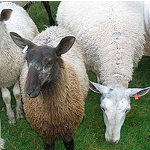 Vermont Sheep & Wool Festival